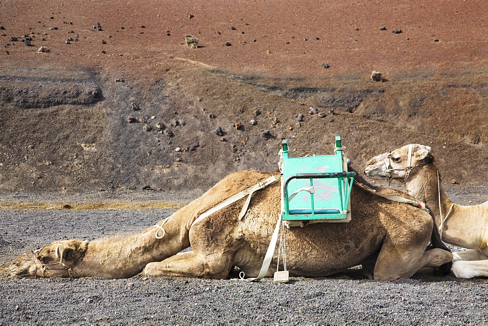 Dromedaries taking a rest at the dromedary station, Timanfaya National Park, Lanzarote, Canary Islands, Spain, Europe