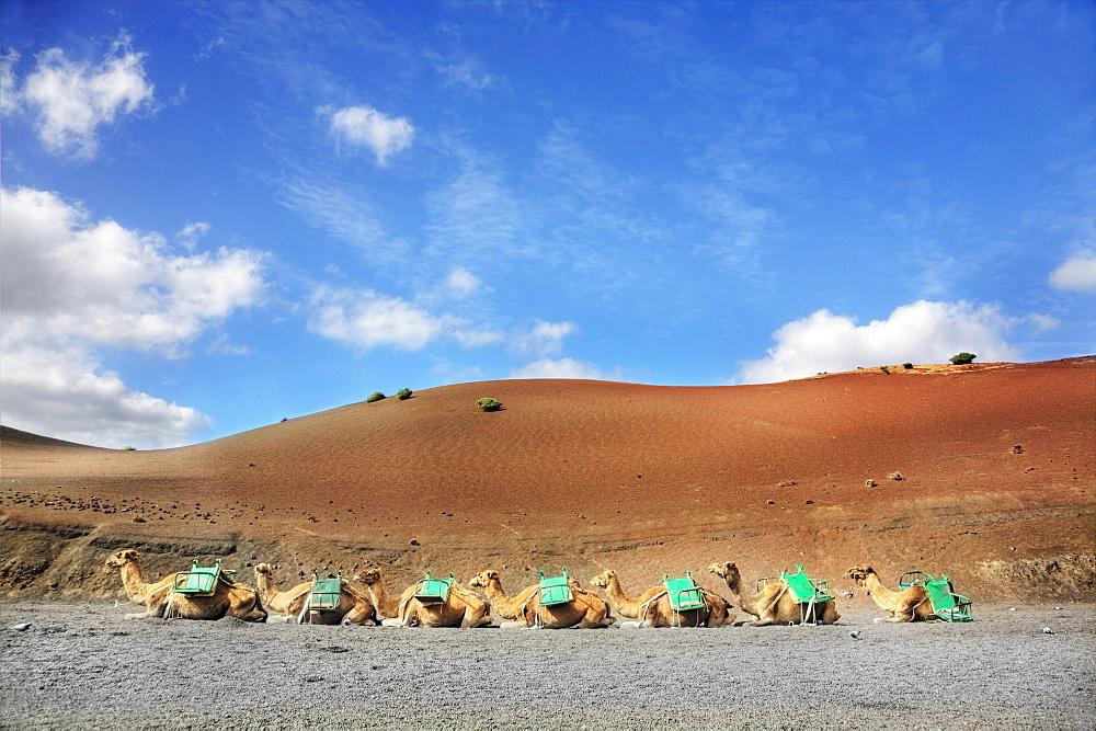 Dromedaries at the dromedary station, Timanfaya National Park, Lanzarote, Canary Islands, Spain, Europe
