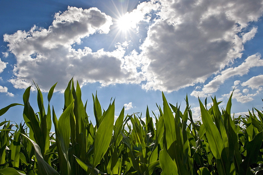 Maize (Zea mays) against a blue sky with clouds, North Hesse, Germany, Europe