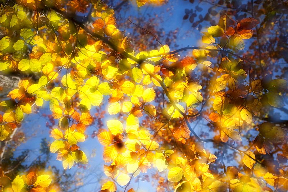 Coloured beech foliage, European Beech or Common Beech (Fagus sylvatica), Hesse, Germany, Europe