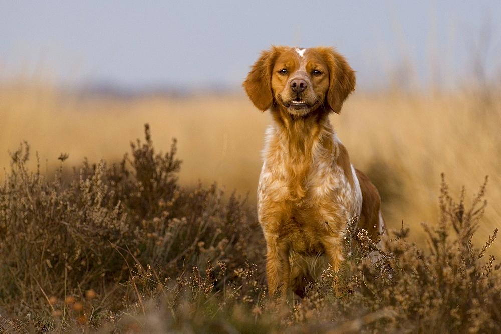 French Epagneul Breton Dog, Bretone, France