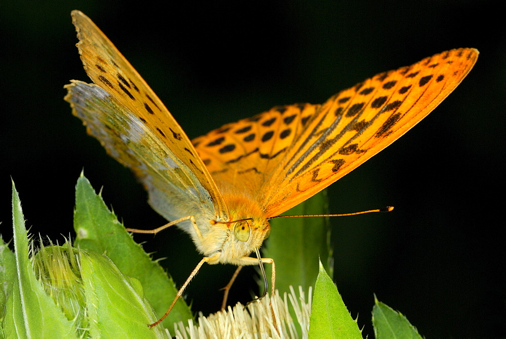 Silver-washed Fritillary (Argynnis paphia) on a blossom