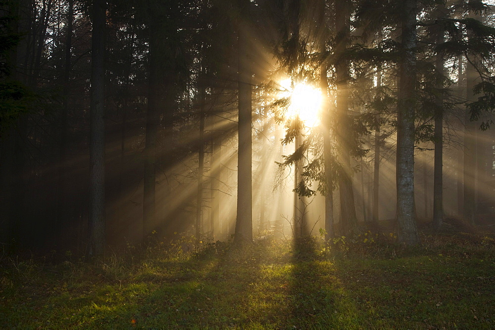 Fog in the forest with sun rays, Poellau, Styria, Austria, Europe