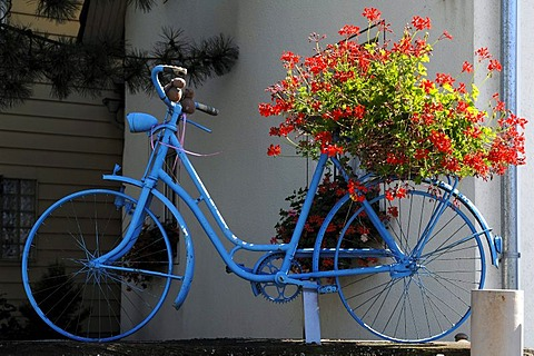 Blue bicycle with geraniums (Pelargonium graveolens) on the rear rack, decoration on a garden wall, Hinterdorfstrasse, Weisweil, Baden-Wuerttemberg, Germany, Europe