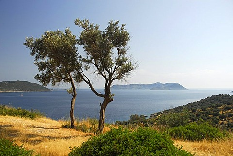 View towards the Greek island of Kastelorizo or Meis, olive trees with sea view, Kas, Lycian coast, Antalya Province, Mediterranean, Turkey, Eurasia