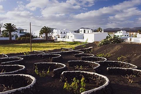 Vineyard cultivation in a lava field in Yaiza, Lanzarote, Canary Islands, Spain, Europe