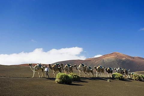 Camel caravan in the volcanic landscape in Montana del Fuego de Timanfaya National Park, Lanzarote, Canary Islands, Spain, Europe