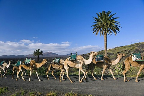 Camel caravan in the volcanic landscape near Uga, Lanzarote, Canary Islands, Spain, Europe