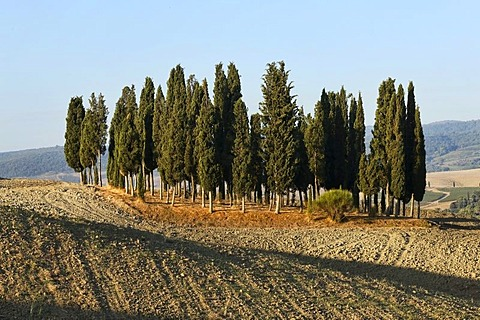 Cypress grove on ploughed field, Val díOrcia Valley, UNESCO World Heritage Site, Tuscany, Italy, Europe