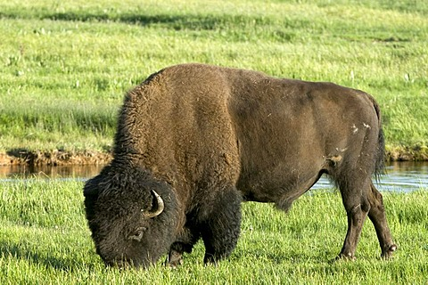 Bison (Bison bison), bull, Yellowstone National Park, Wyoming, USA, North America