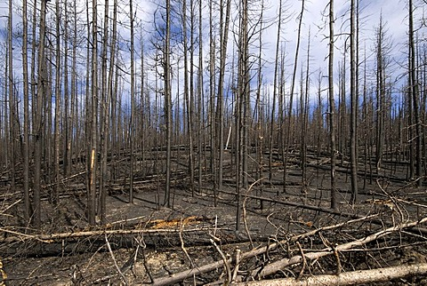 Burnt forest, Yellowstone National Park, Wyoming, USA, North America