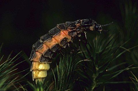 Common Glow-worm (Lampyris noctiluca), female