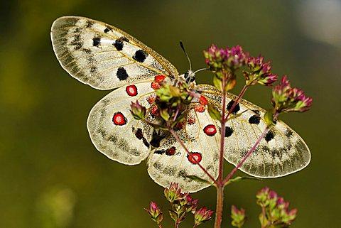 Mountain Apollo butterfly (Parnassius apollo), Biosphaerengebiet Schwaebische Alb biosphere reserve, Swabian Alb, Baden-Wuerttemberg, Germany, Europe
