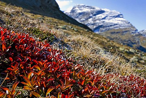 Autumnal shrub cluster of Manzanitas or Bearberries (Arctostaphylos alpinus) in the Buendner Alps, Kanton Graubuenden, Switzerland, Europe