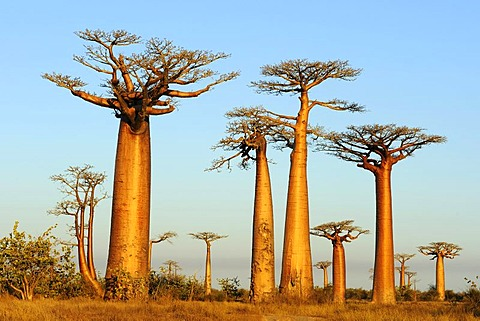 Baobab Alley, Grandidier's Baobab (Adansonia grandidieri), during magic hour, Morondava, Madagascar, Africa