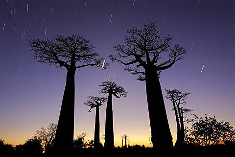 Baobab-Alley, Grandidier's Baobab (Adansonia grandidieri), at night with star trails, Morondava, Madagascar, Africa