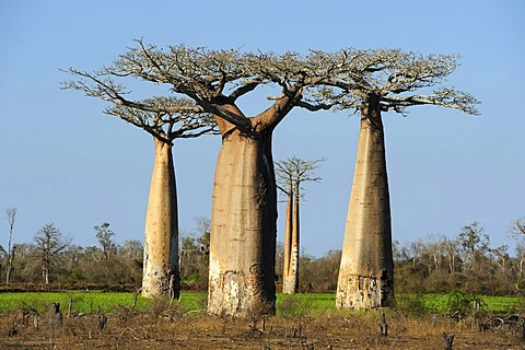Group of Baobabs (Adansonia grandidieri), Morondava, Madagascar, Africa
