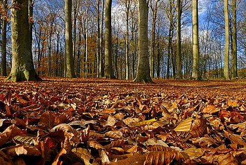 Forest with leaf litter in autumn, Kiel, Schleswig-Holstein, Deutschland
