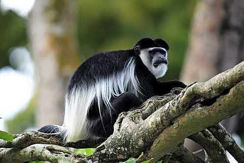 Angola Colobus (Colobus angolensis), adult male on a tree, Africa