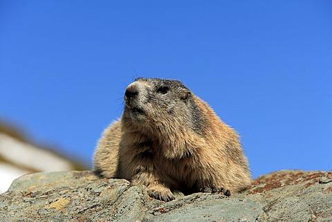 Alpine Marmot (Marmota marmota), adult, resting on a rock, Grossglockner Mountain Range, Hohe Tauern National Park, Austria, Alps, Europe