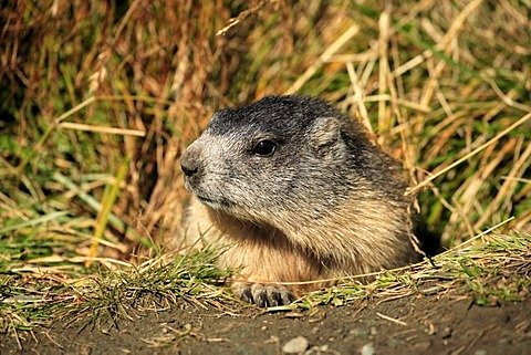 Alpine Marmot (Marmota marmota), juvenile, portrait, Grossglockner Mountain Range, Hohe Tauern National Park, Austria, Alps, Europe