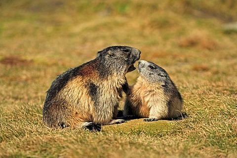 Alpine Marmot (Marmota marmota), half-grown cubs, social behavior, Grossglockner Mountain Range, Hohe Tauern National Park, Austria, Alps, Europe