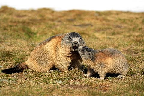 Alpine Marmot (Marmota marmota), adult with juvenile, social behavior, Grossglockner Mountain Range, Hohe Tauern National Park, Austria, Alps, Europe