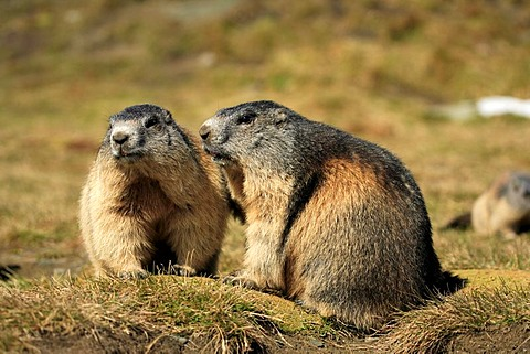 Alpine Marmot (Marmota marmota), two adults, Grossglockner Mountain Range, Hohe Tauern National Park, Austria, Alps, Europe