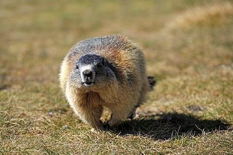 Alpine Marmot (Marmota marmota), adult, walking or running, Grossglockner Mountain Range, Hohe Tauern National Park, Austria, Alps, Europe