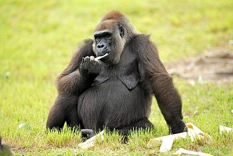 Western Lowland Gorilla (Gorilla gorilla gorilla), adult, feeding, Africa