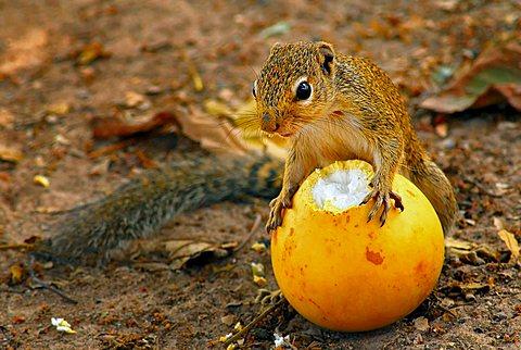 Feeding Sun squirrel (Heliosciurus gambianus)