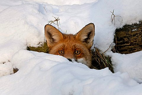 Red Fox (Vulpes vulpes) in its burrow in the snow, Knuell Wildlife Park, Homberg, North Hesse, Germany, Europe