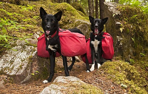 Pack dogs, sled dogs, Alaskan Huskies, carrying dog packs, backpacks, coastal rain forest, Chilkoot Trail, Chilkoot Pass, Alaska, USA