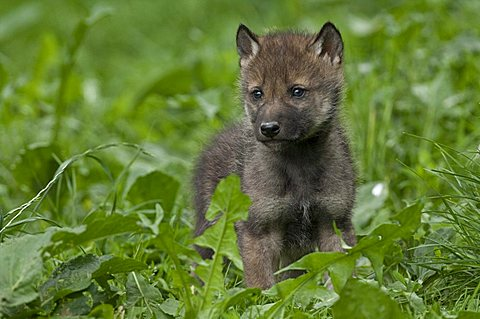 Wolf (Canis lupus), cub, Tierpark Sababurg, Hofgeismar, North Hesse, Germany, Europe