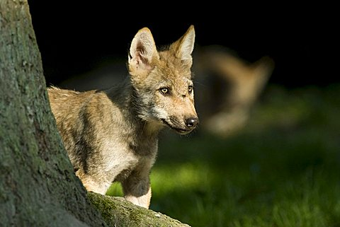 Gray Wolves (Canis lupus), young animal at a tree, Sababurg zoo, Hofgeismar, North Hesse, Germany