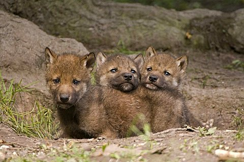 Gray Wolves (Canis lupus), young animals at the burrow, Sababurg zoo, Hofgeismar, North Hesse, Germany - 832-13579