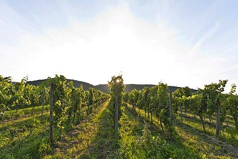 Vineyard, near Forst, German Wine Route, Pfalz, Rhineland-Palatinate, Germany, Europe