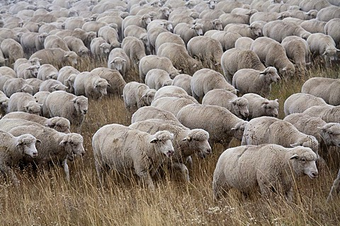 A flock of sheep on a winter pasture, San Luis Valley, Manassa, Colorado, USA, America
