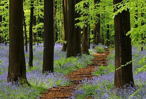 Forest path through a forest of Common Beeches (Fagus sylvatica) with Bluebells (Hyacinthoides), spring, Hallerbos, Brussels, Belgium, Europe