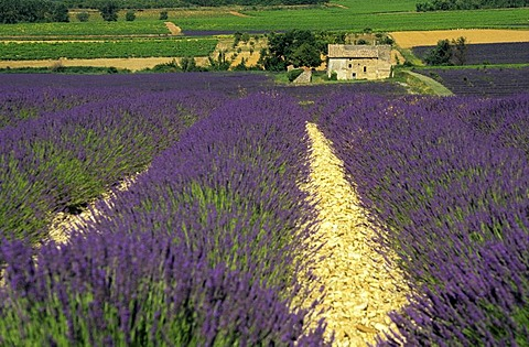 Field of lavender in Drome, France, Europe