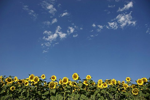 Field of sunflowers, France, Europe