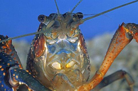 Freshwater crayfish (Procambarus clarkii), captive, captive