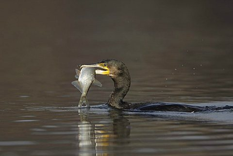Great Cormorant (Phalacrocorax carbo) with fish