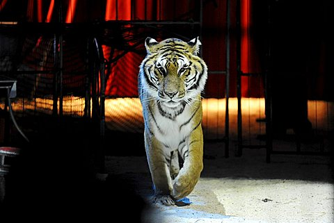 Bengal tiger in a circus ring