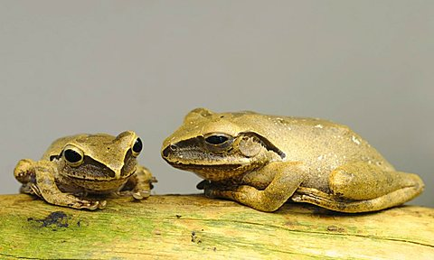 Common Tree Frog (Polypedates leucomystax), Greater Sunda Islands - 832-14245