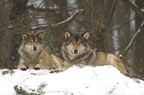 Two Mackenzie Valley Wolves, Rocky Mountain Wolves, Alaskan - or Canadian Timber Wolves (Canis lupus occidentalis) lying in a forest, falling snow