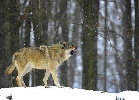 Mackenzie Valley Wolf, Rocky Mountain Wolf, Alaskan - or Canadian Timber Wolf (Canis lupus occidentalis) baring its teeth in a forest, falling snow