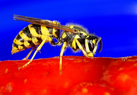 German or European Wasp (Vespula germanica) nibbling strawberry cake - 832-14298
