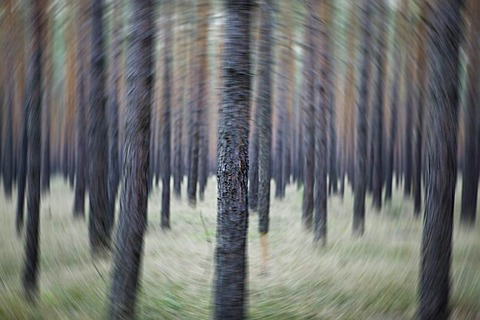 Abstract pine forest in Brandenburg, Germany, Europe