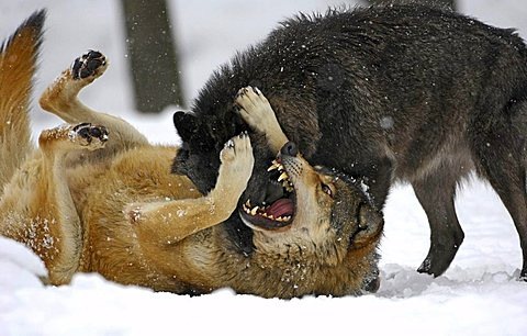 Mackenzie Valley Wolves (Canis lupus occidentalis), ranking fight in the snow